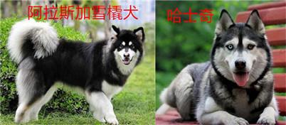 【图解】哈士奇和阿拉斯加的区别:让你轻轻松松辨别阿拉斯加犬和哈士奇